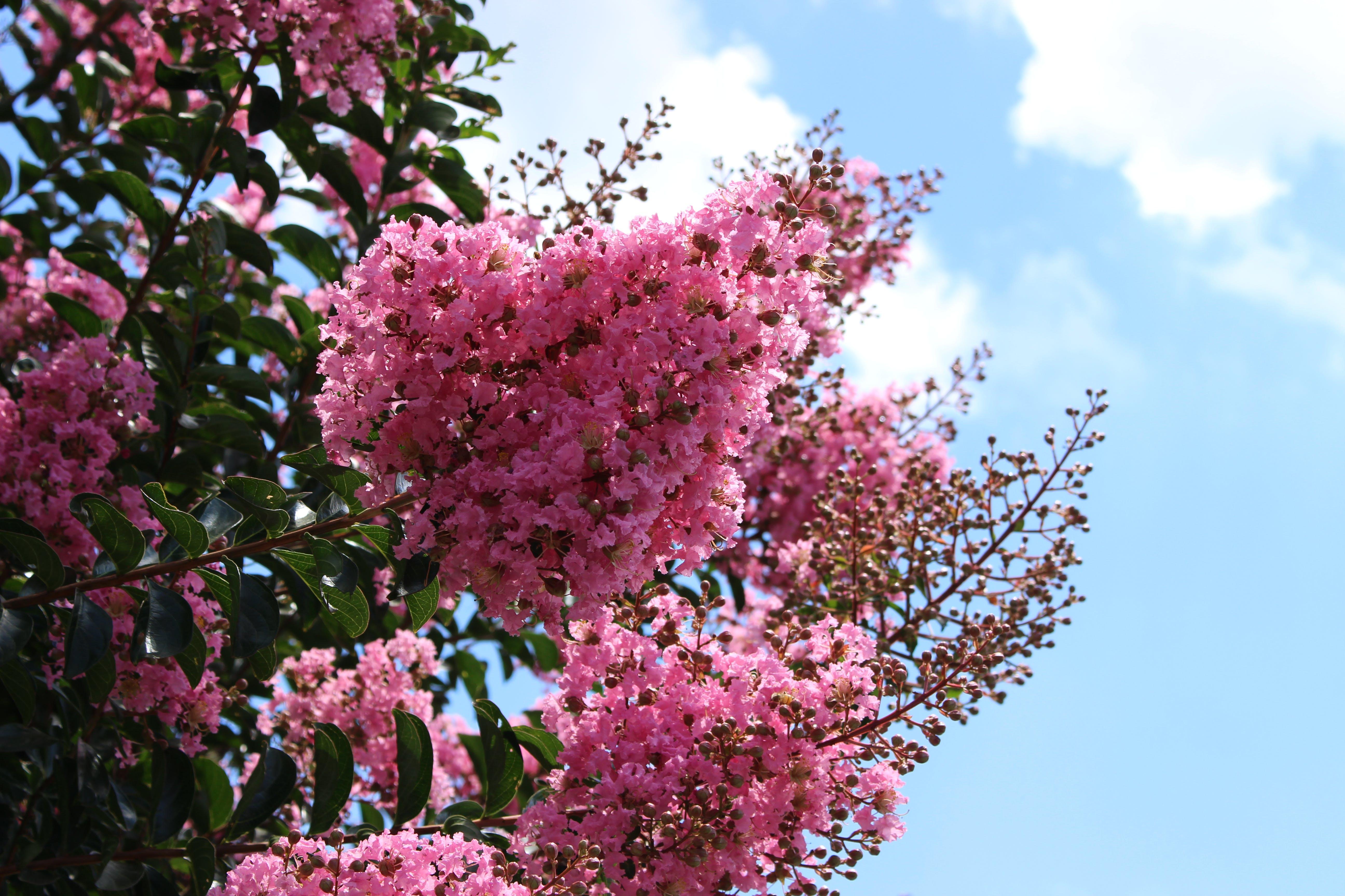 Δωρεάν στοκ φωτογραφιών με ηλιόλουστη μέρα, ηλιόλουστος, λουλούδια, ροζ λουλούδια