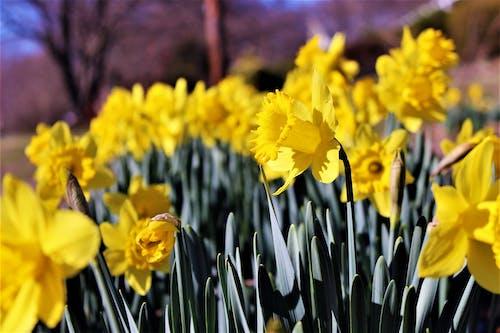 Бесплатное стоковое фото с желтые нарциссы, желтые цветы, желтый, заводы