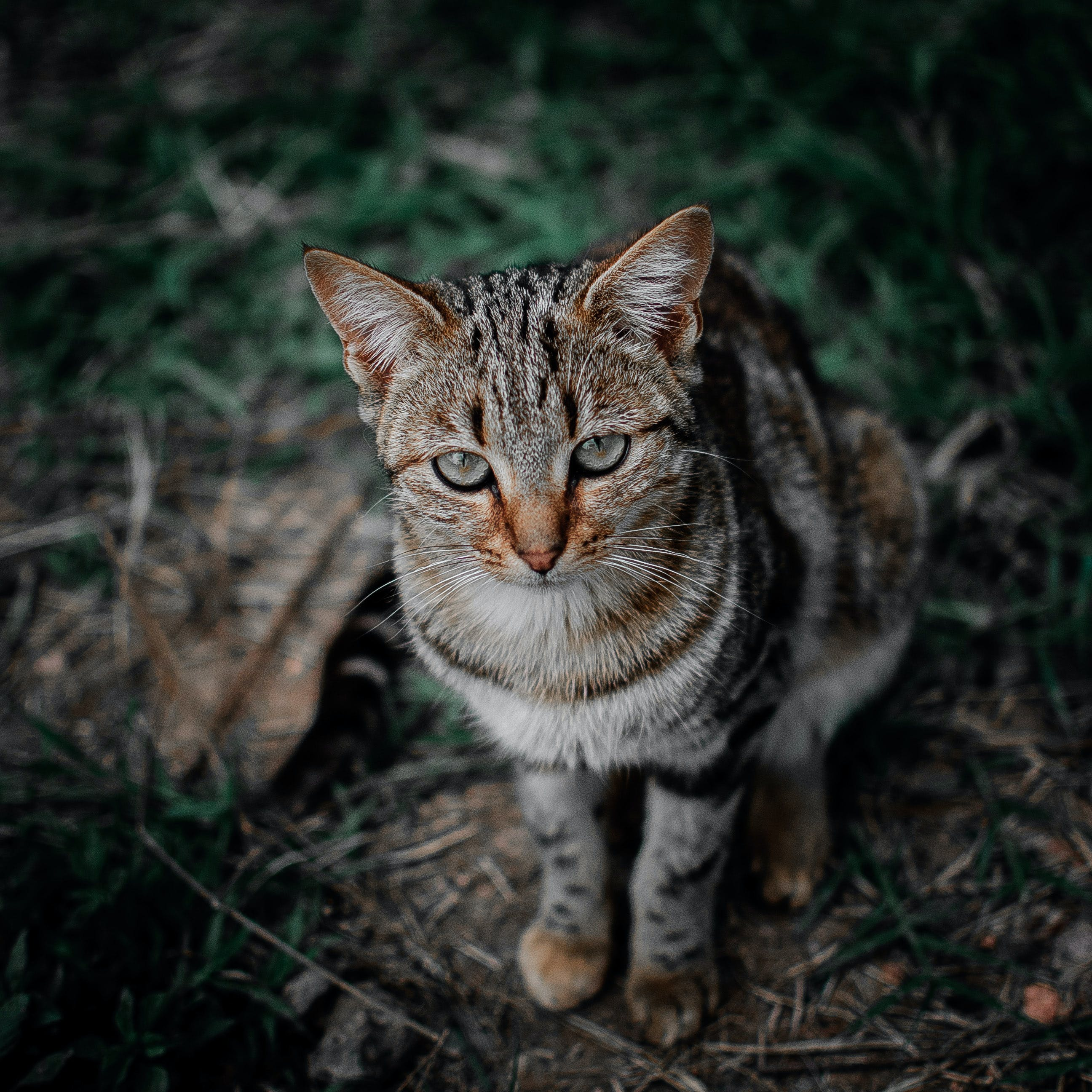 Shallow Focus Photography of Brown, Black, and Gray Tabby Cat