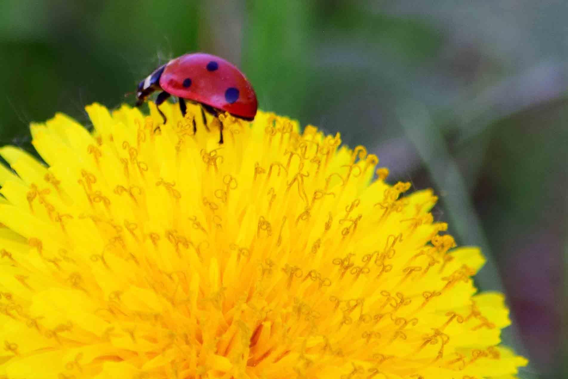 Free stock photo of dandelion, ladybug