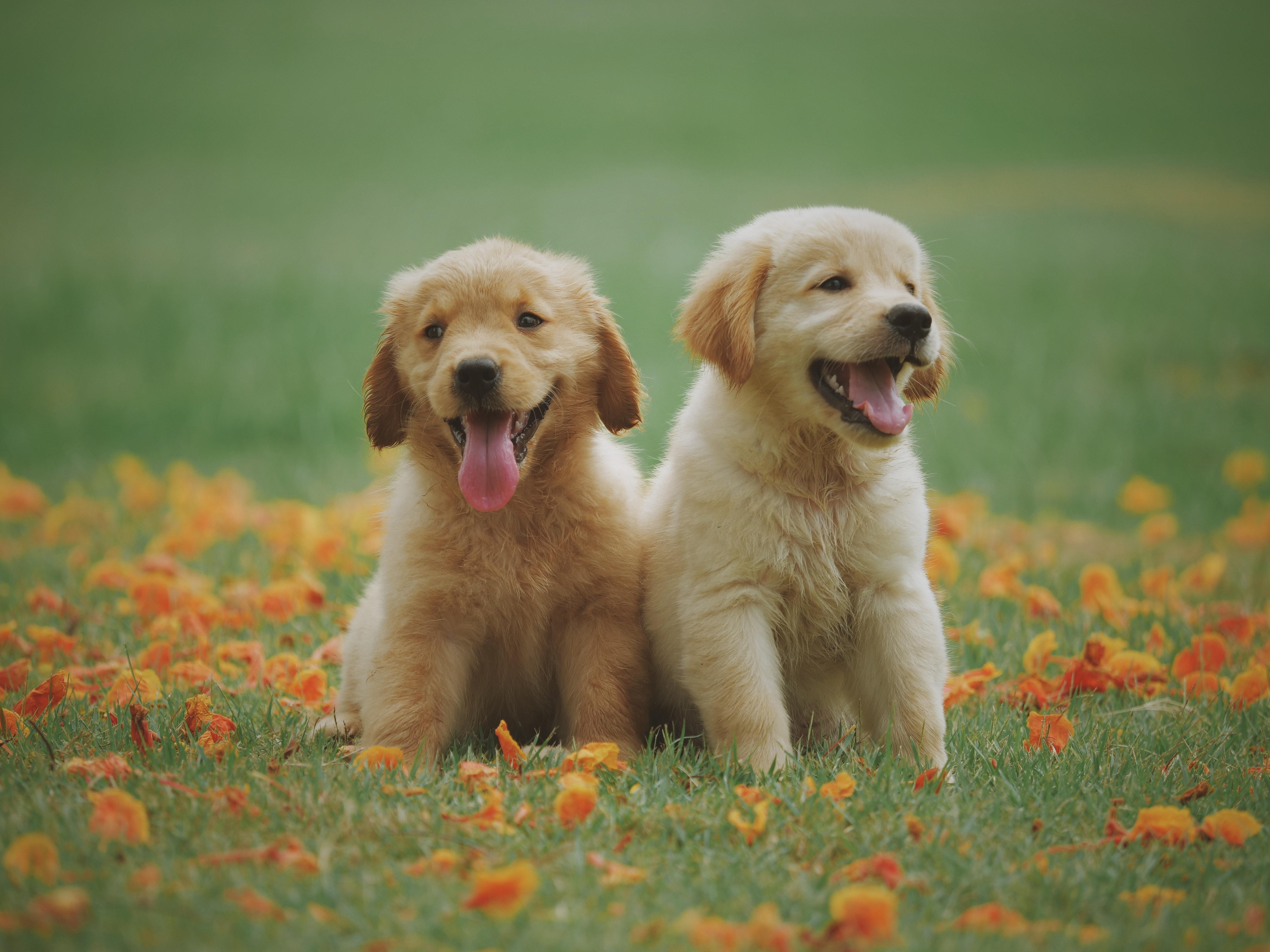 two yellow labrador retriever puppies free stock photo