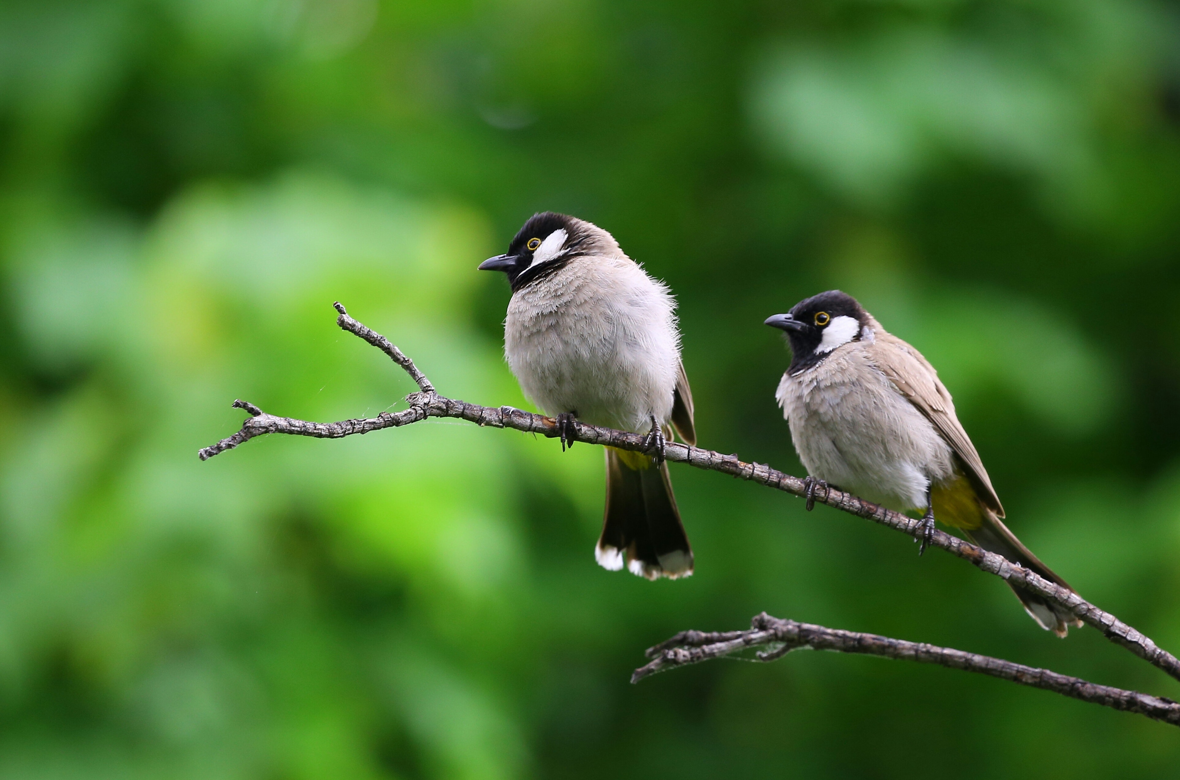White And Black Birds Piercing On Tree Branch Free Stock