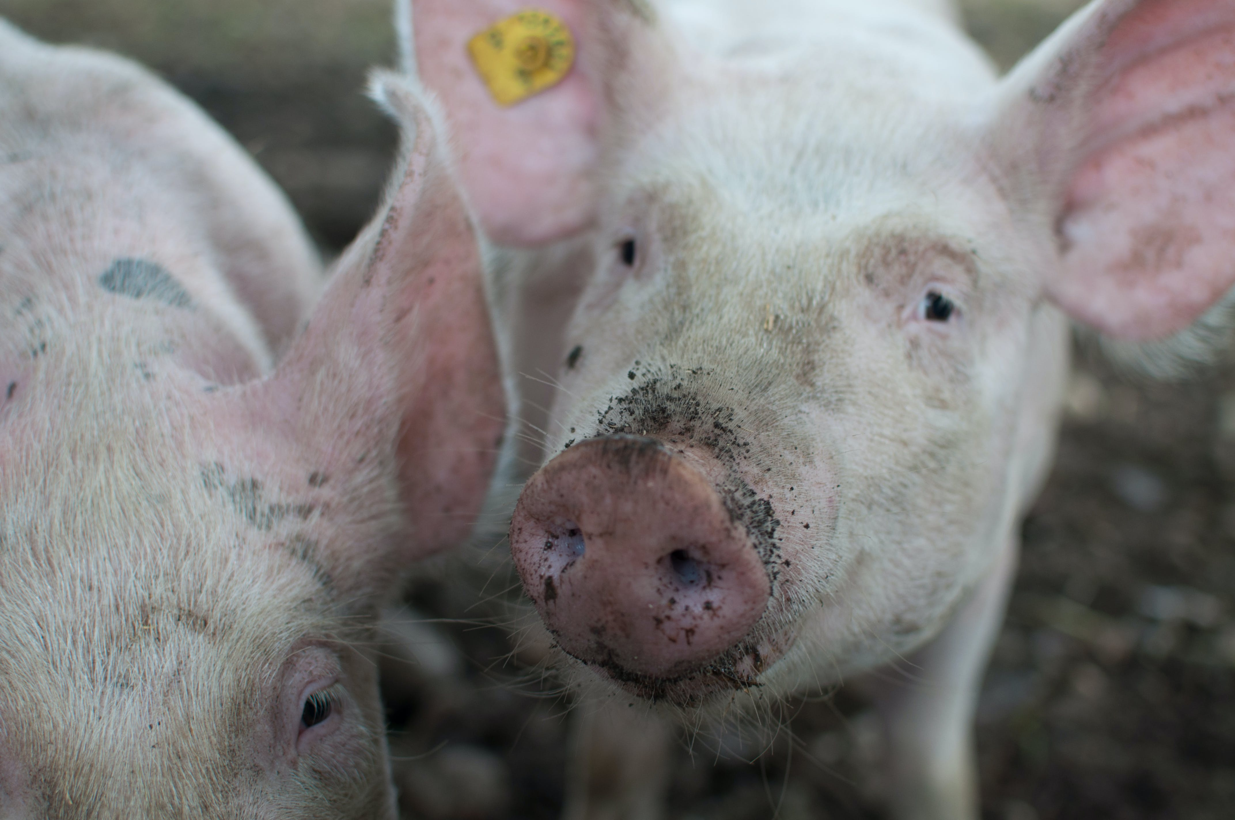 Close Photo of Pig