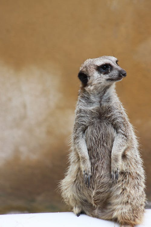 Standing Gray Meerkat Close Up Photo