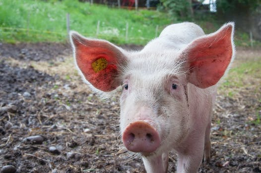 53 cute pig pictures pexels free stock photos
