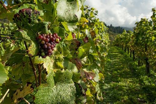 Gratis arkivbilde med druer, frukt, gård, vingård