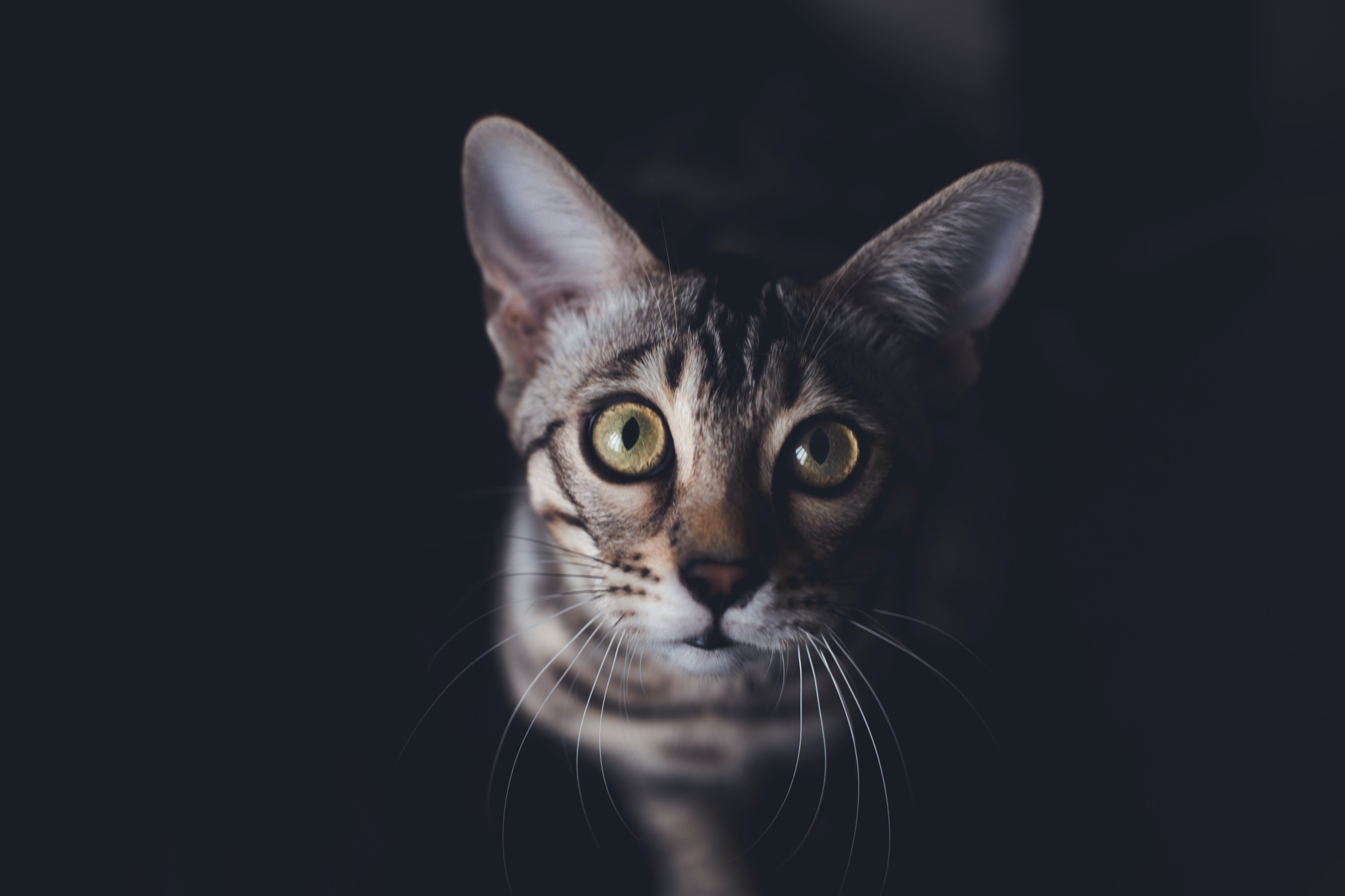 Close Up Photography of Gray Tabby Cat