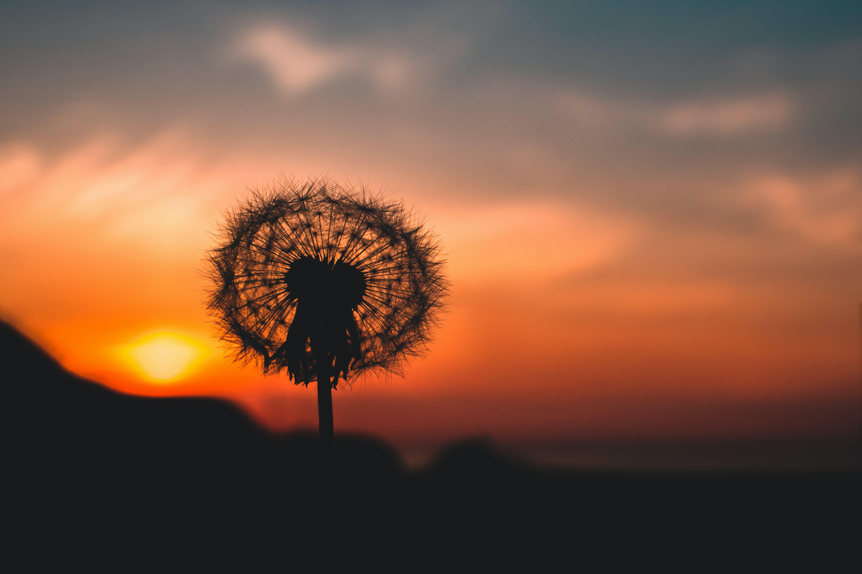 Silhouette Photo of Dandelion