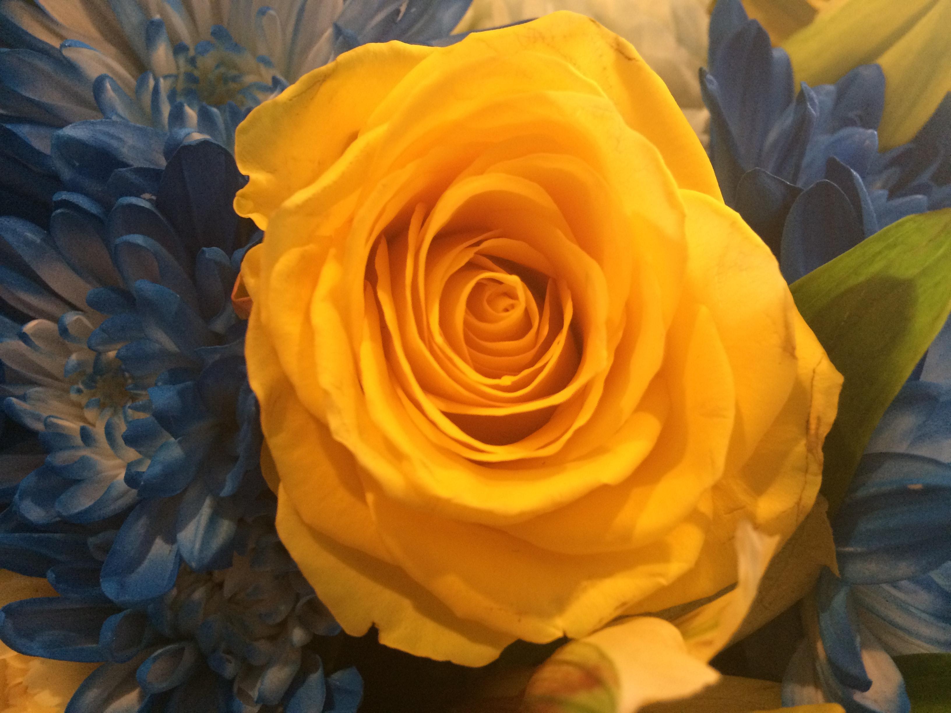 Free stock photo of beautiful flowers yellow roses free download izmirmasajfo