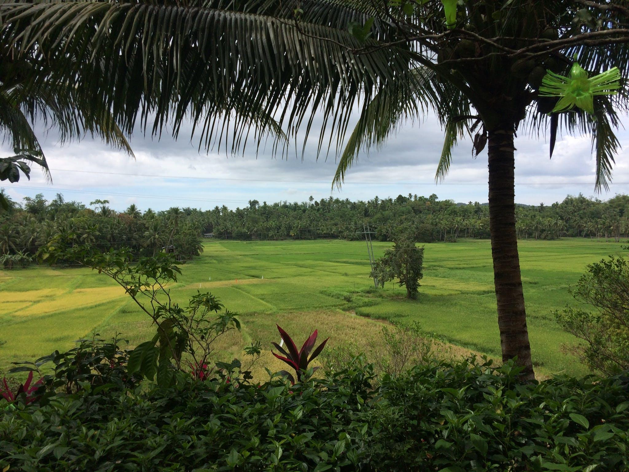 Free stock photo of dark green plants, Lopez Quezon, Philippines, rice farm
