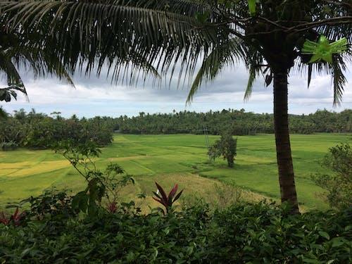 Безкоштовне стокове фото на тему «лопес кесон, рисова ферма, темно-зелені рослини, Філіппіни»
