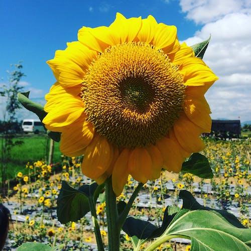 Imagine de stoc gratuită din ferma de soare, Filipine, itsmorefuninthephilippines, quezon