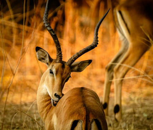 Selective Focus Photography Of Brown Gazelle