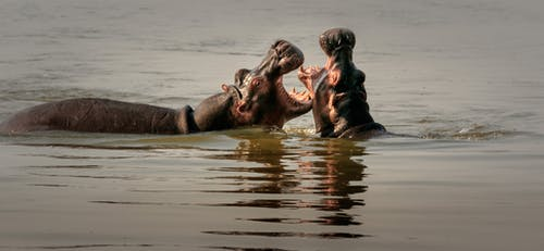 Free stock photo of africa, hippo, zambia