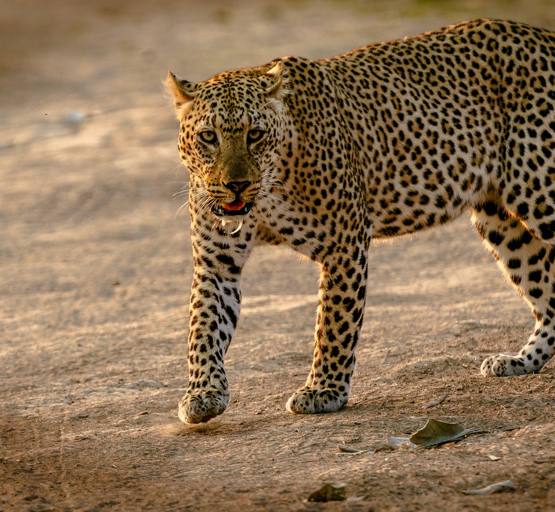 動物, 哺乳動物, 尚比亞, 捕食者 的 免费素材照片