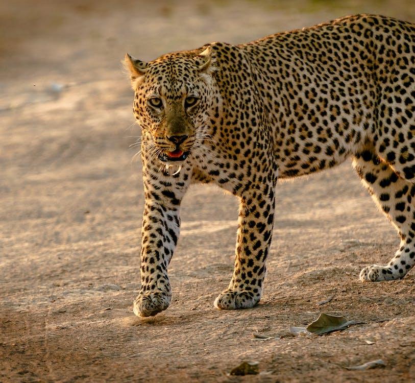 Afrika, cicavec, divá mačka