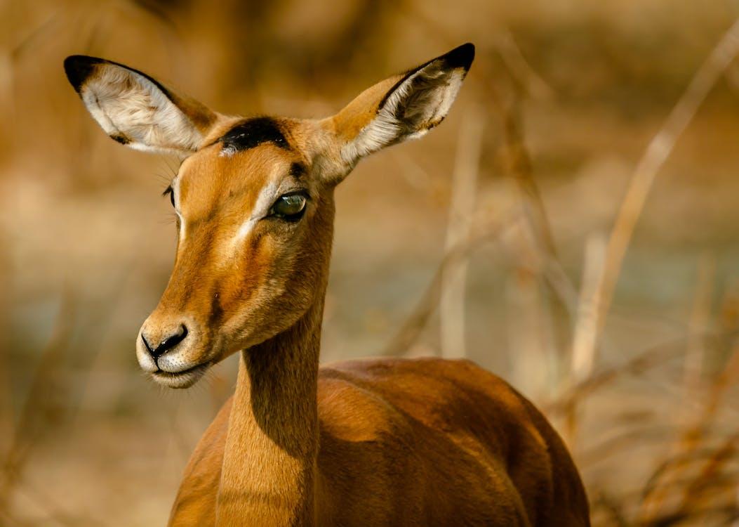Антилопа, Африка, дикая природа