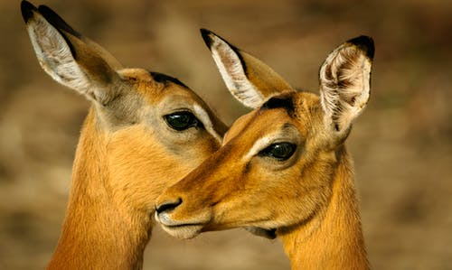 Photo of Two Brown Deers