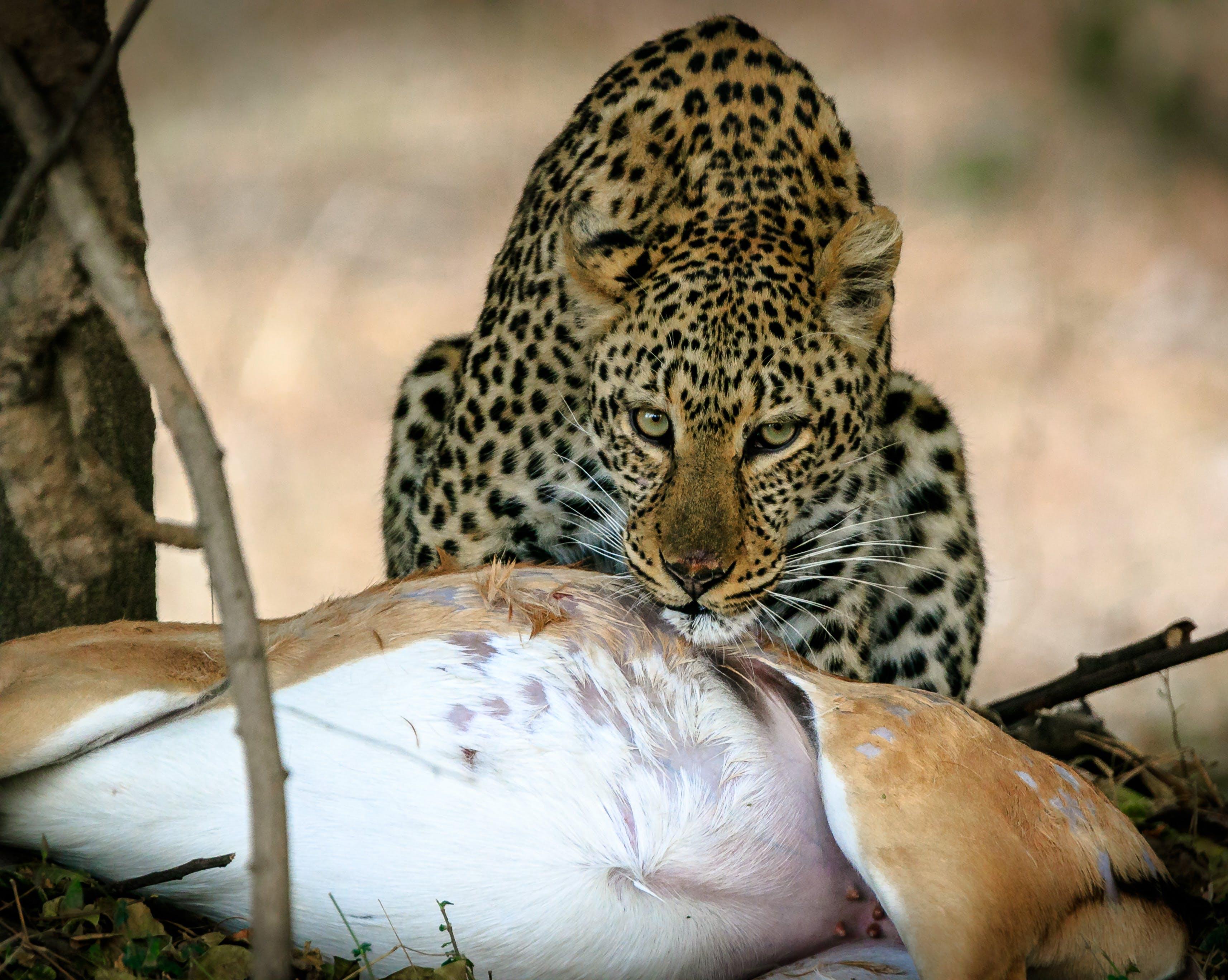 Free stock photo of africa, hunt, kill, leopard