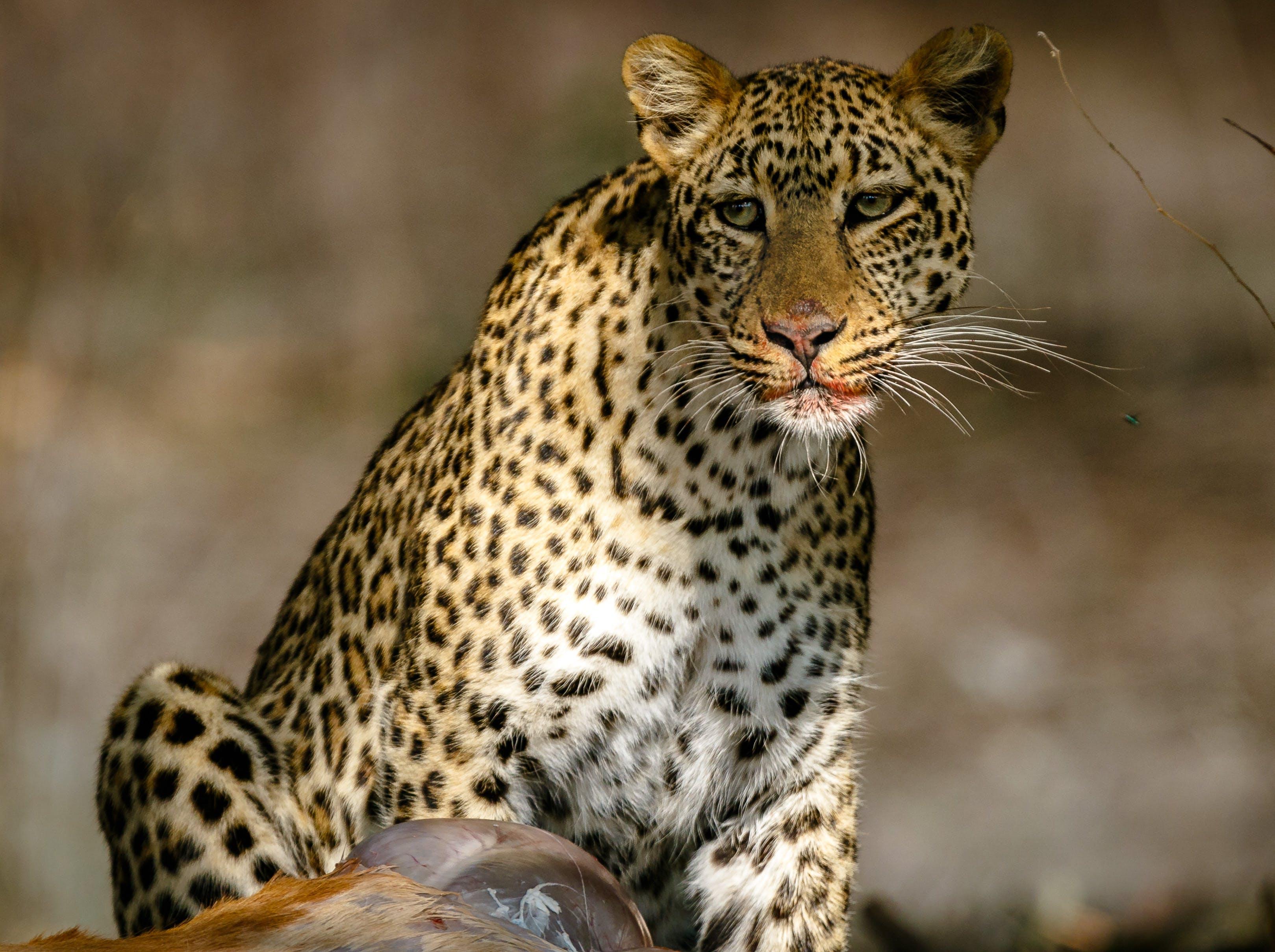 Δωρεάν στοκ φωτογραφιών με Αφρική, Ζάμπια, κυνήγι, λεοπάρδαλη