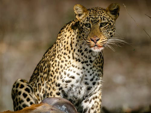 Leopard on Brown Wooden Log