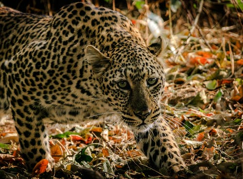 Shallow Focus Photograph Of Leopard