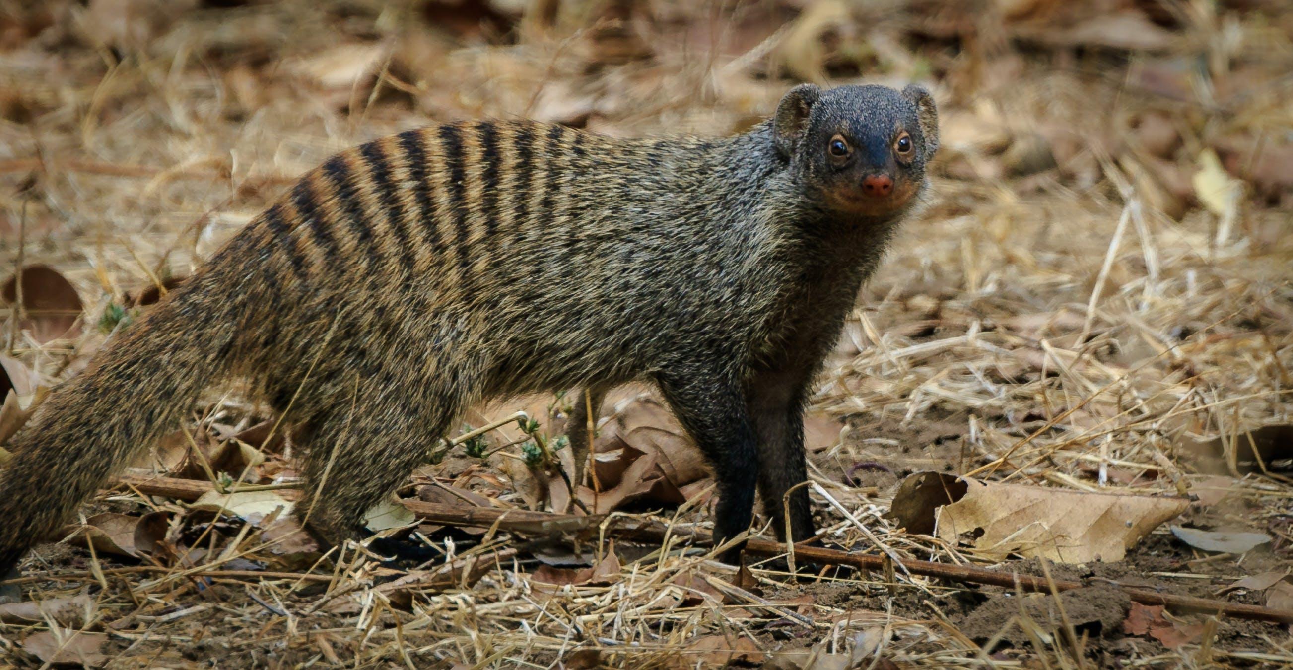 Free stock photo of africa, mongoose, yellow banded mongoose, zambia