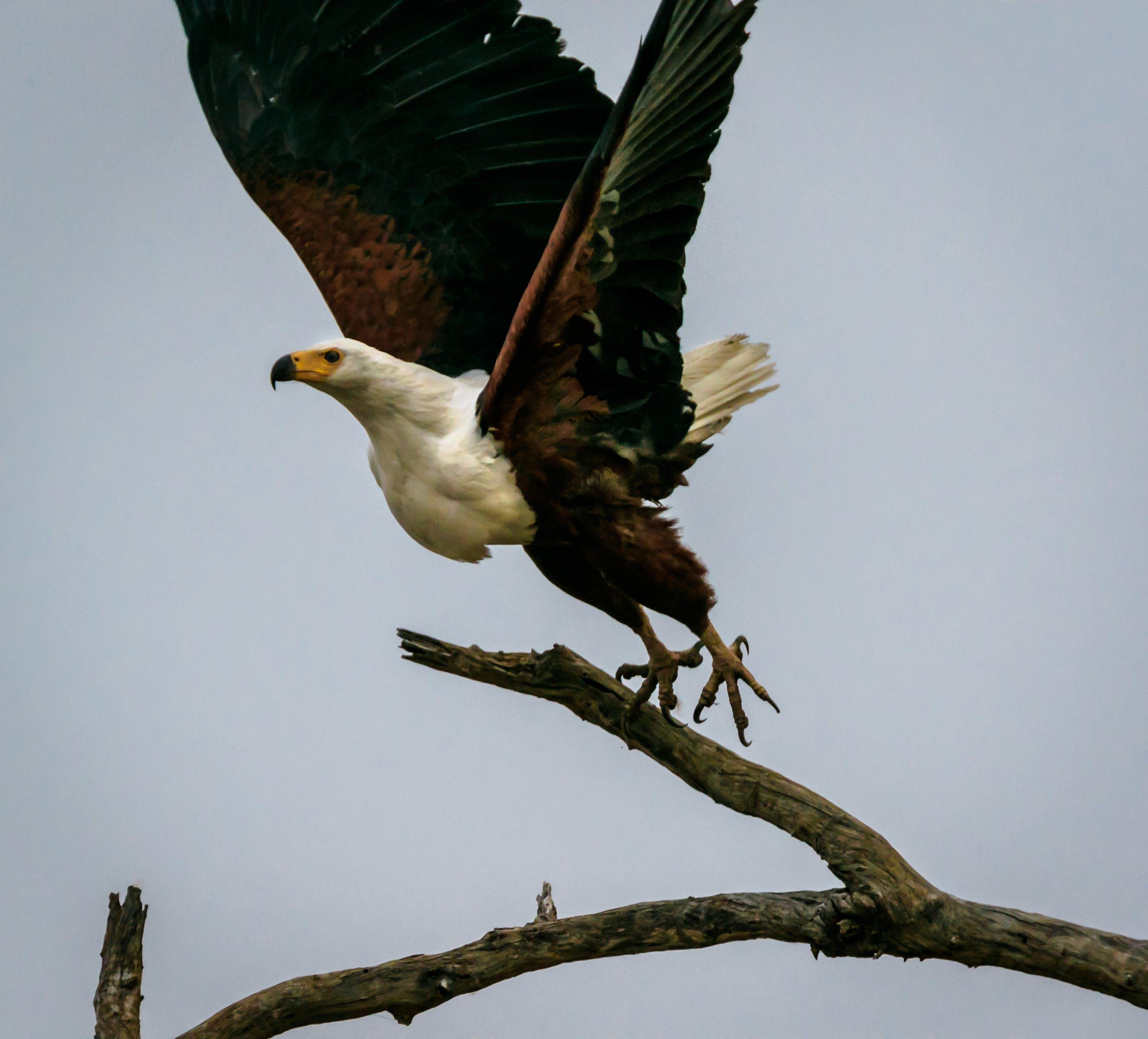Free stock photo of africa, bird, fish eagle, zambia