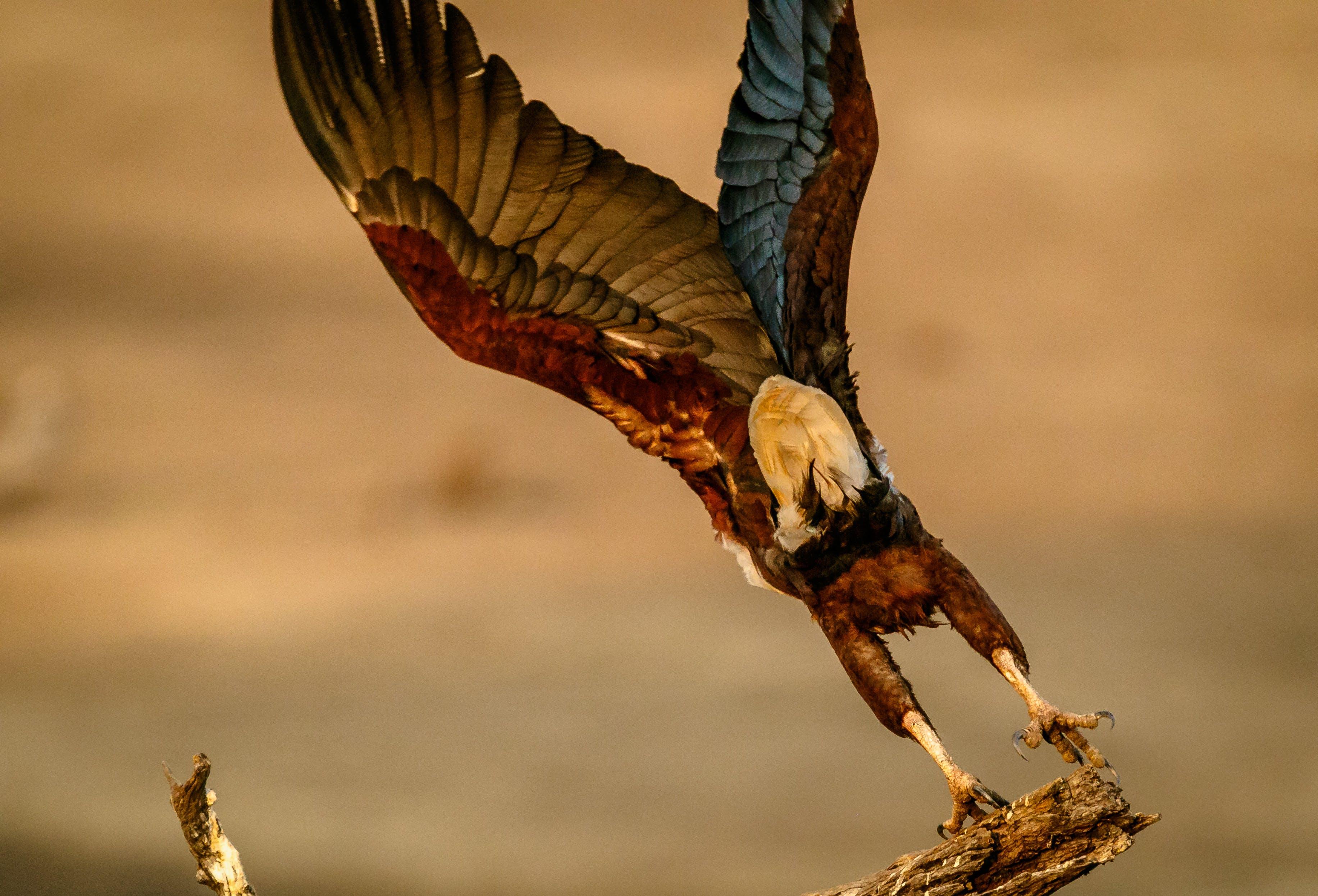 Δωρεάν στοκ φωτογραφιών με Αφρική, Ζάμπια, ψάρια αετός