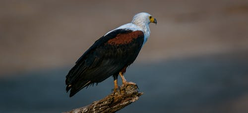 Free stock photo of africa, fish eagle, zambia