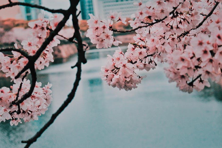 Cherry blossom beside body of water