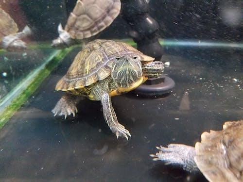 Безкоштовне стокове фото на тему «черепаха»