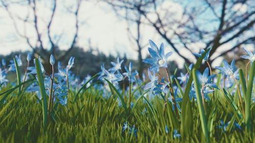 Foto d'estoc gratuïta de blau, camp, chionodoxa siehei, creixement