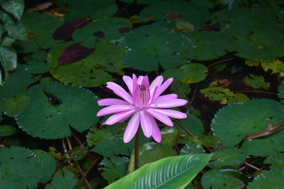 在湖中的花, 夏天, 夏季