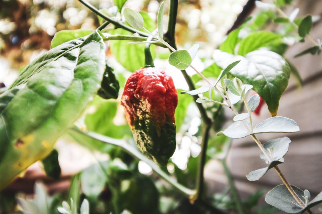 Ilmainen kuvapankkikuva tunnisteilla chilipippuri, chilipippurit, haamupippuri