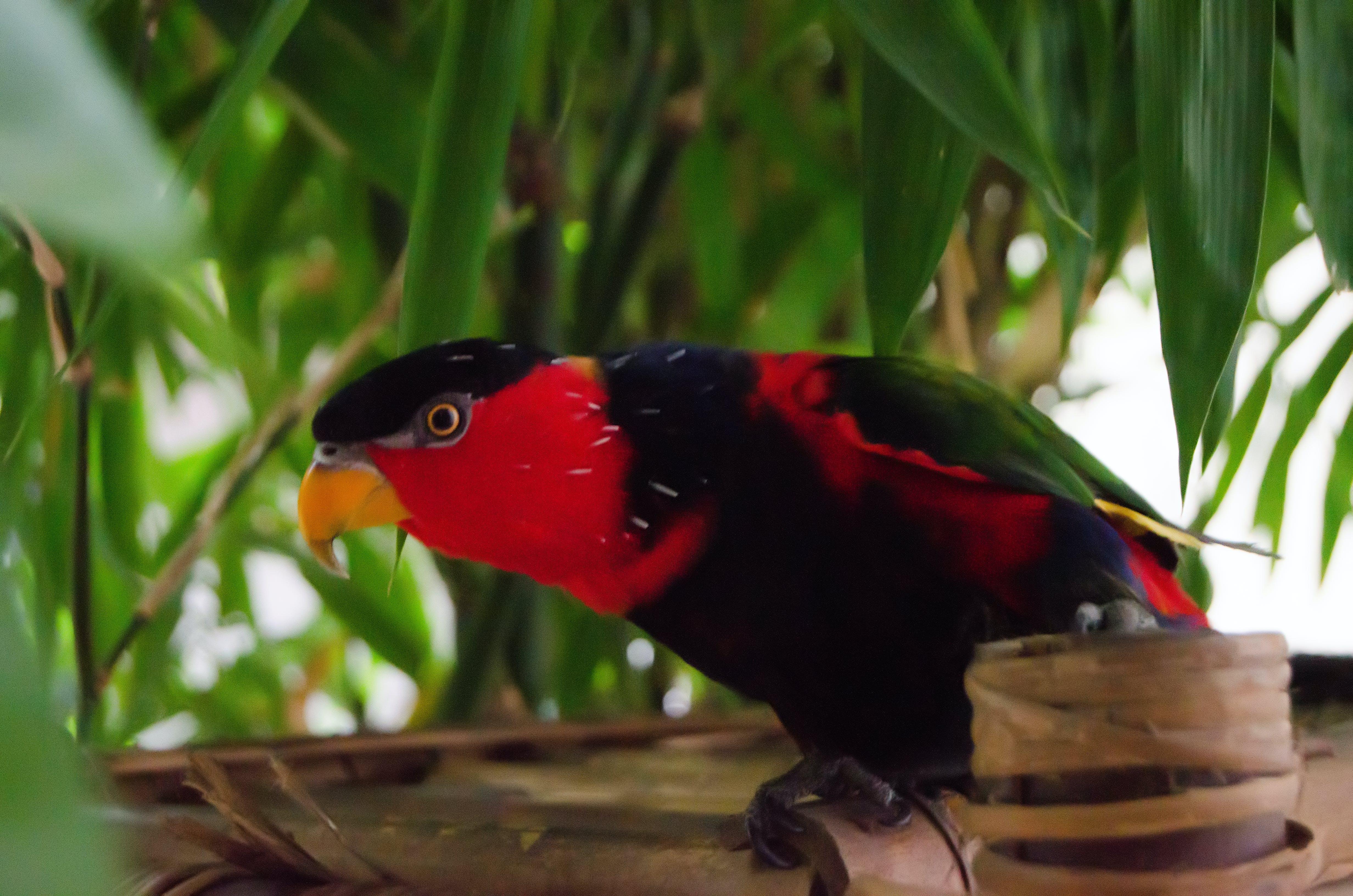 Free stock photo of bird, parrot