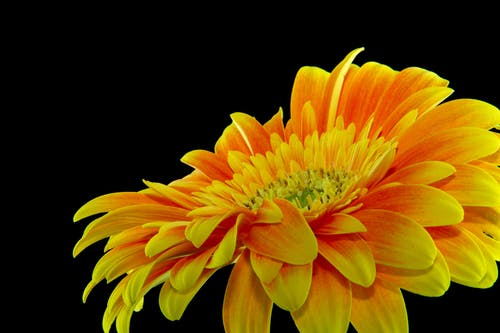 Close-up Photography Yellow Gerbera Daisy Flower