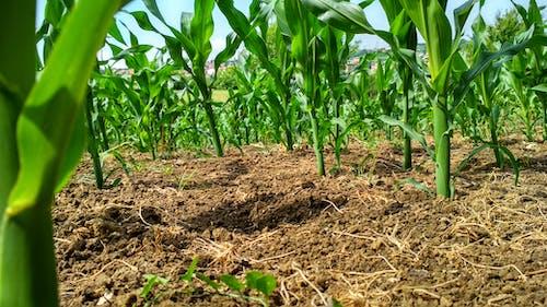 玉米, 麥田 的 免费素材照片
