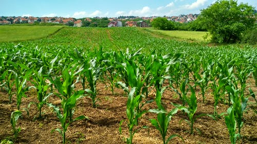 Corn Plant on Field