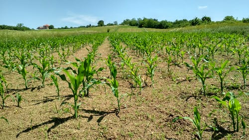 Бесплатное стоковое фото с зерновое поле, кукуруза, поле