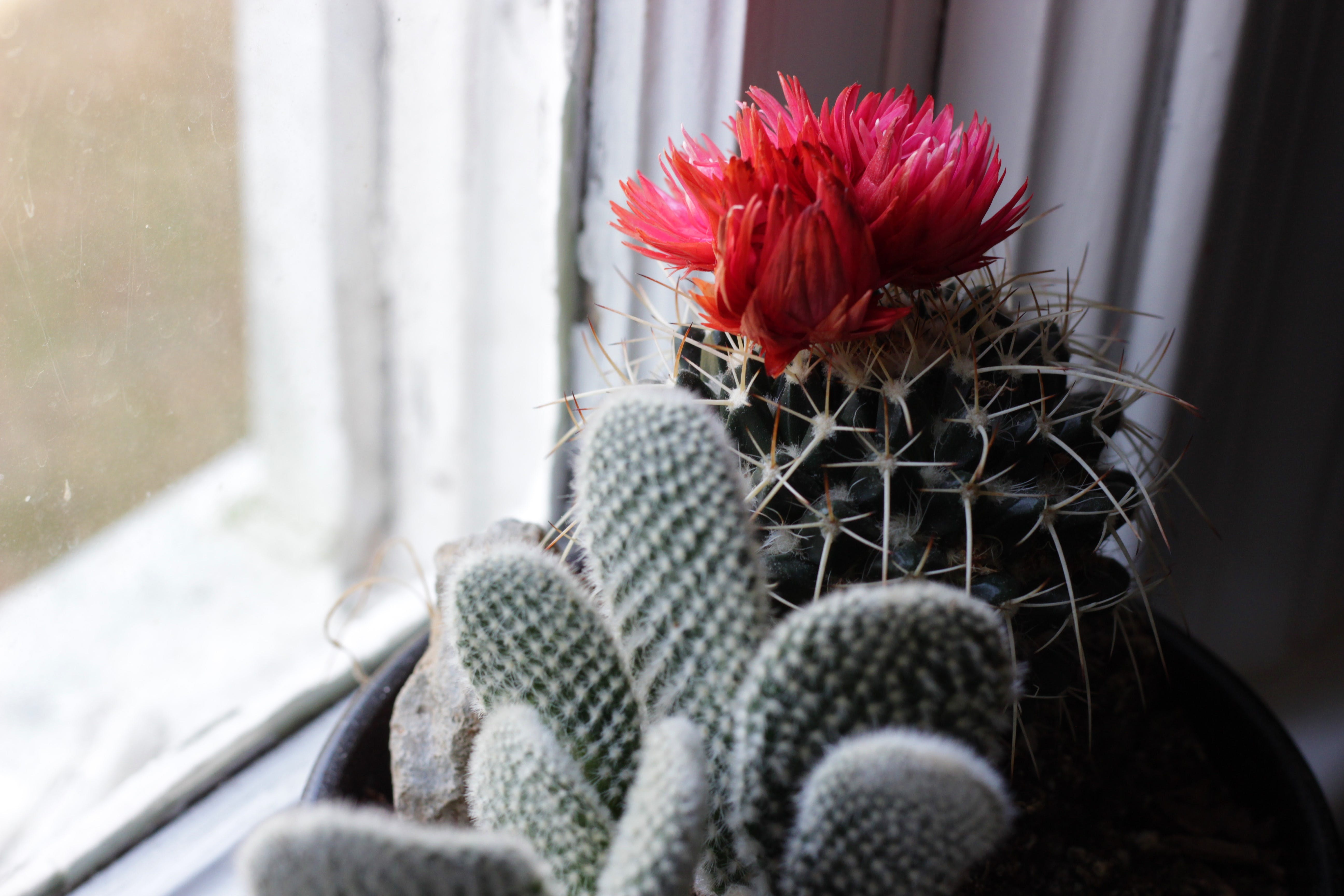 Selective Color Photography of Red Cactus Flower