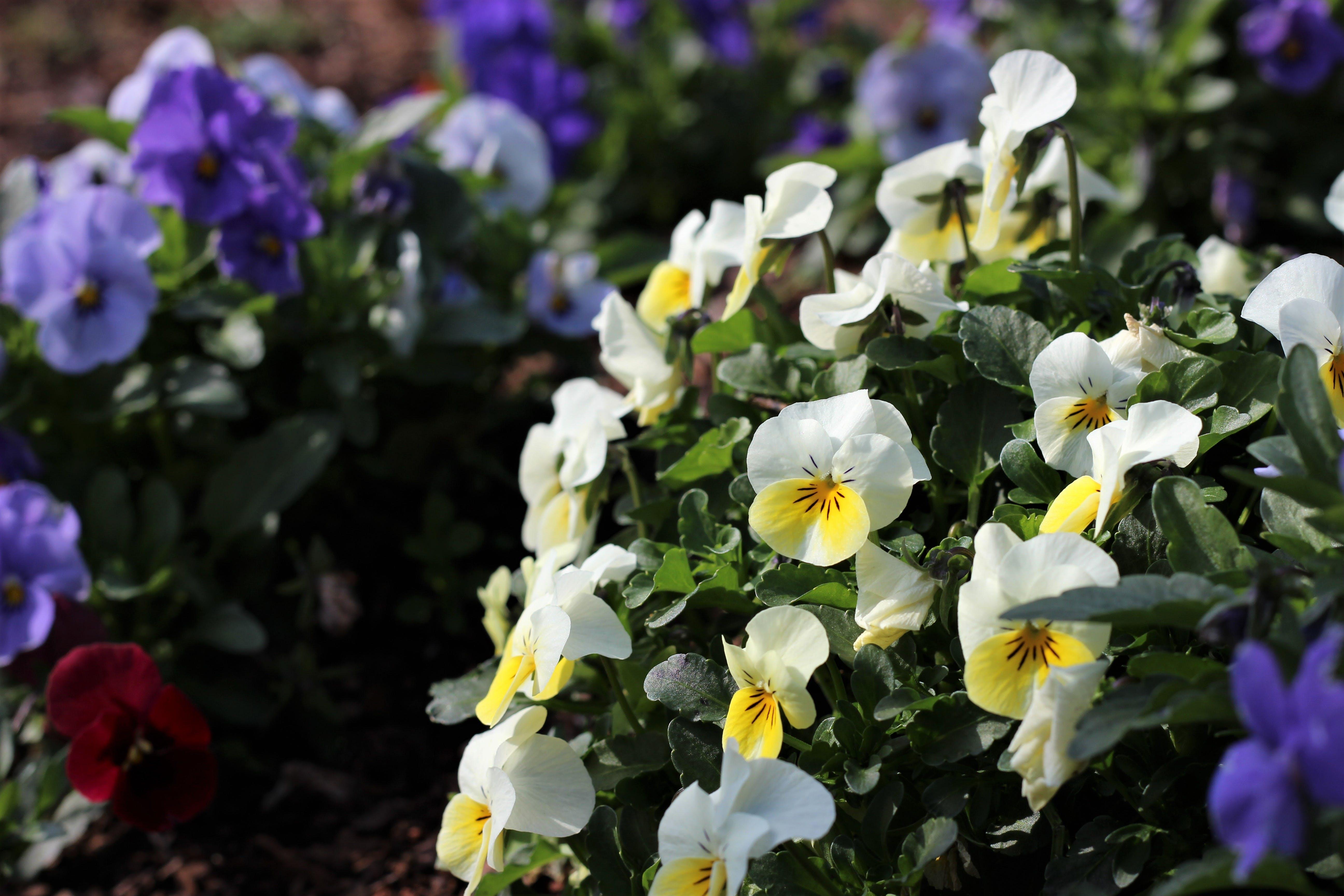 Kostenloses Stock Foto zu blumen, blumenbeet, botanischer garten, farben
