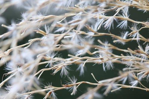 Photos gratuites de blanc, brillant, fleur, pissenlit