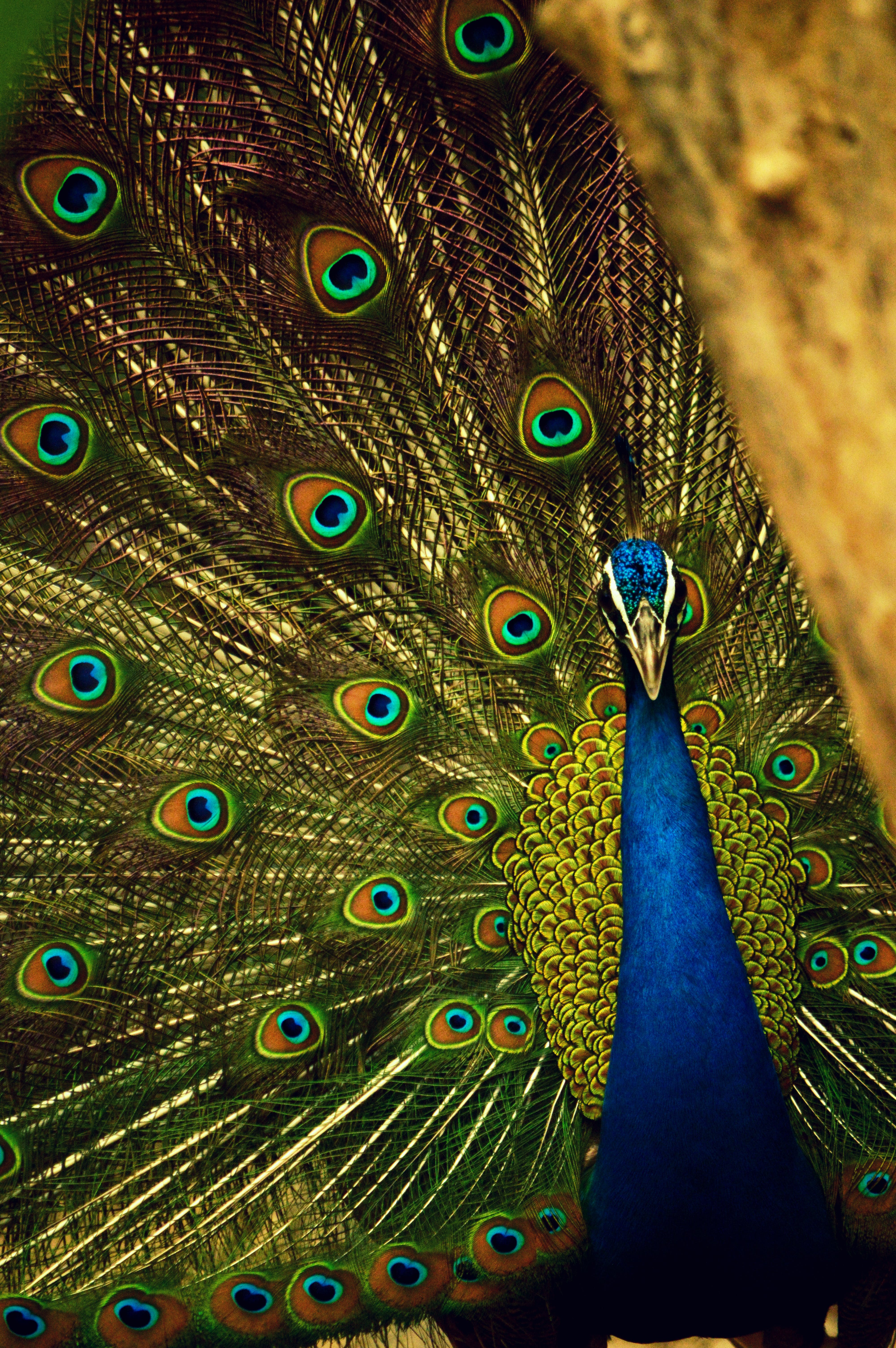 Blue and Green Peafowl
