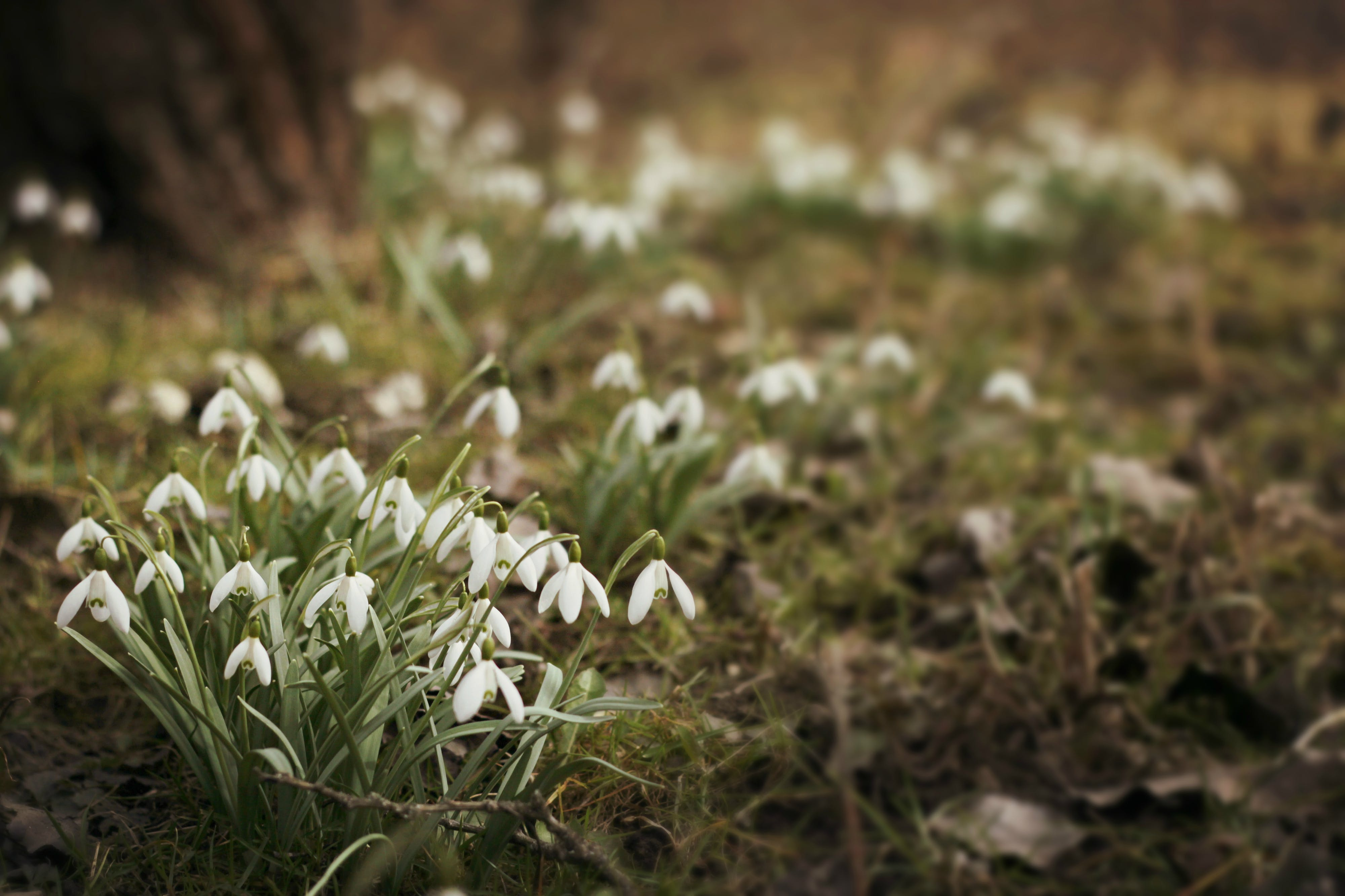 Free stock photo of bloom, nature, plants, snowdrop