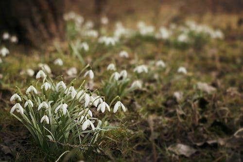 คลังภาพถ่ายฟรี ของ ธรรมชาติ, พืชไม้ชนิดหนึ่ง, หยาดหิมะ, เบ่งบาน