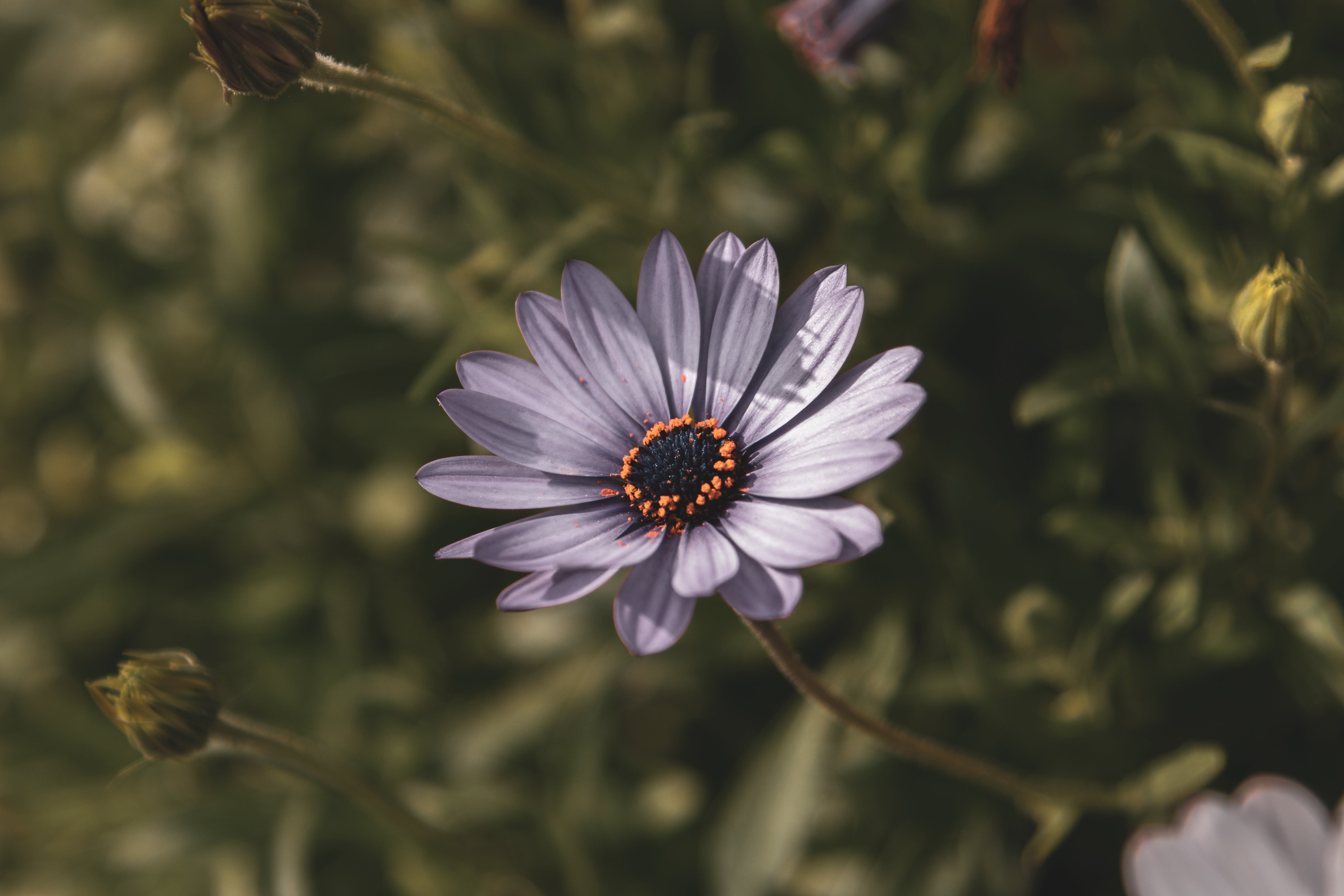 Selective Focus Photography of Purple Osteospermum Flower