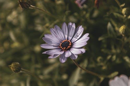 Selective Focus Photography of Purple Osteospermum Flower