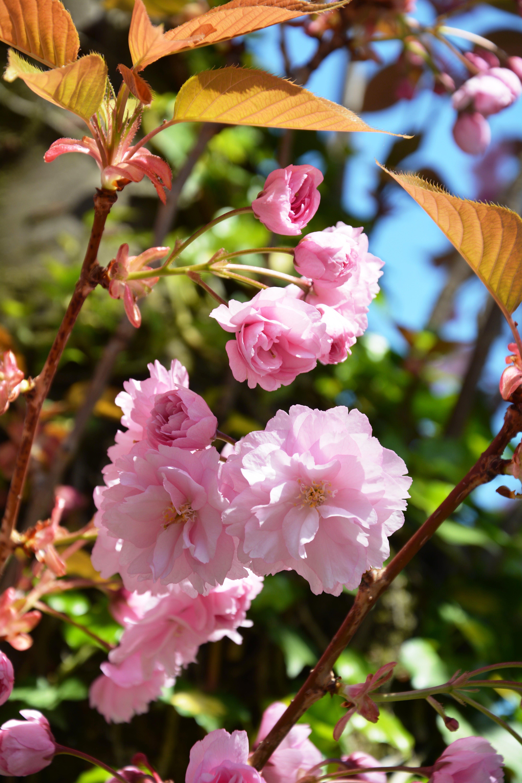 blooming tree, blossoms, botanic garden