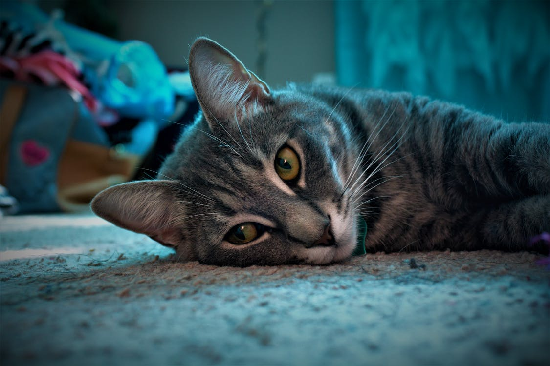 Close-up of Grey Tabby Cat Lying on Grey Surface